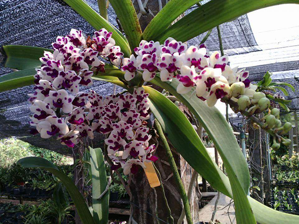 Hoa phong Lan Thái Lan