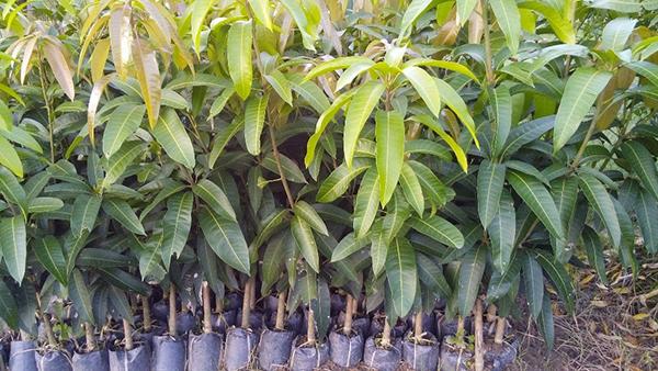 Cây xoài Thái Lan