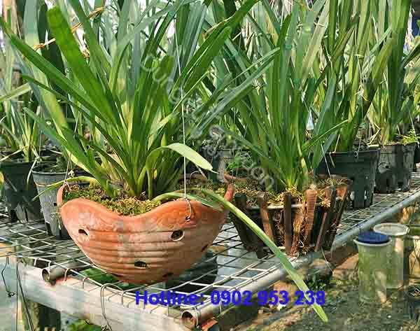 Hoa lan kiếm vàng Thái Lan