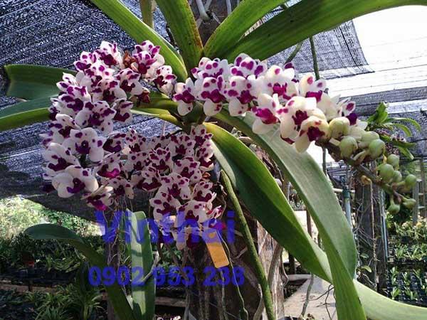 Hoa lan Thái tím